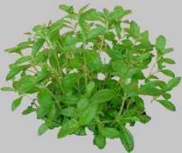 Stevia una piccola pianta contro l 39 industria saccariera for Stevia pianta
